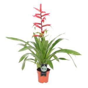 Bromelia Guzmania Belleza Red