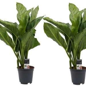 Decorum Duo Aglaonema B.J. Freedman - Hoogte 55 - Diameter pot 30