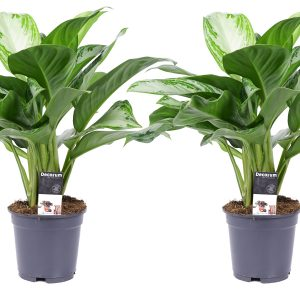 Decorum Duo Aglaonema Silver Bay - Hoogte 50 - Diameter pot 17