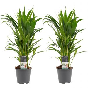 Decorum Duo Dypsis lutescens (Areca) - Hoogte 50 - Diameter pot 14