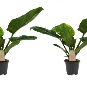 Decorum Duo Philodendron Imperial Green Feel Green - Hoogte 45 - Diameter pot 14