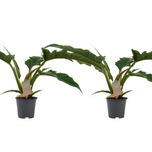 Decorum Duo Philodendron Narrow Escape Feel Green - Hoogte 45 - Diameter pot 14