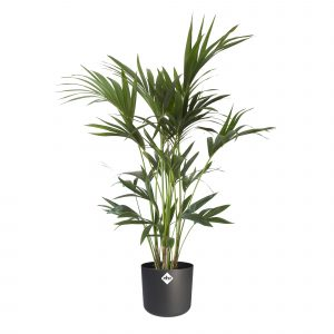 Howea forsteriana Kentiapalme in ELHO® B.FOR SOFT sierpot anthracit